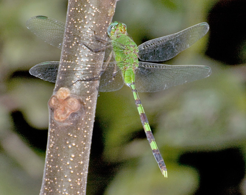 Erythemis vesiculosa photo