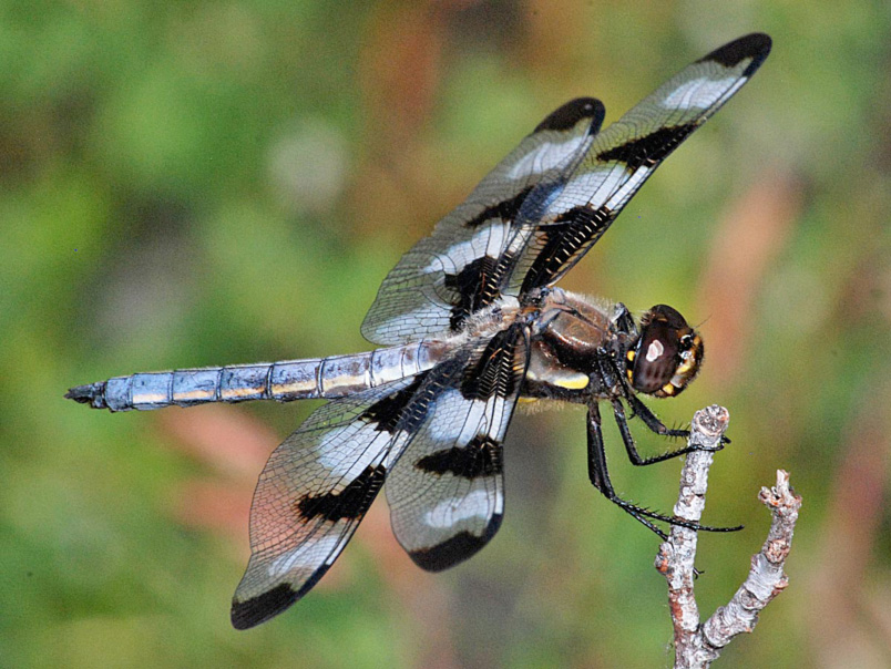 Libellula pulchella male photo